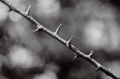 Natural Barbed wire