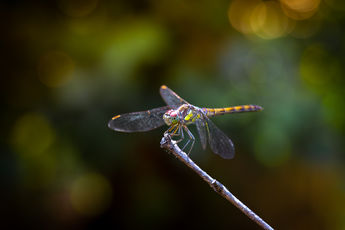 Dragon Fly of Fire
