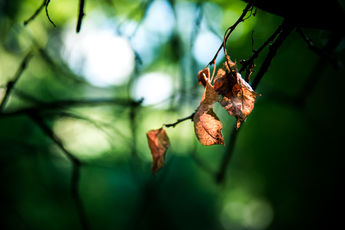 Leafs in the Forest